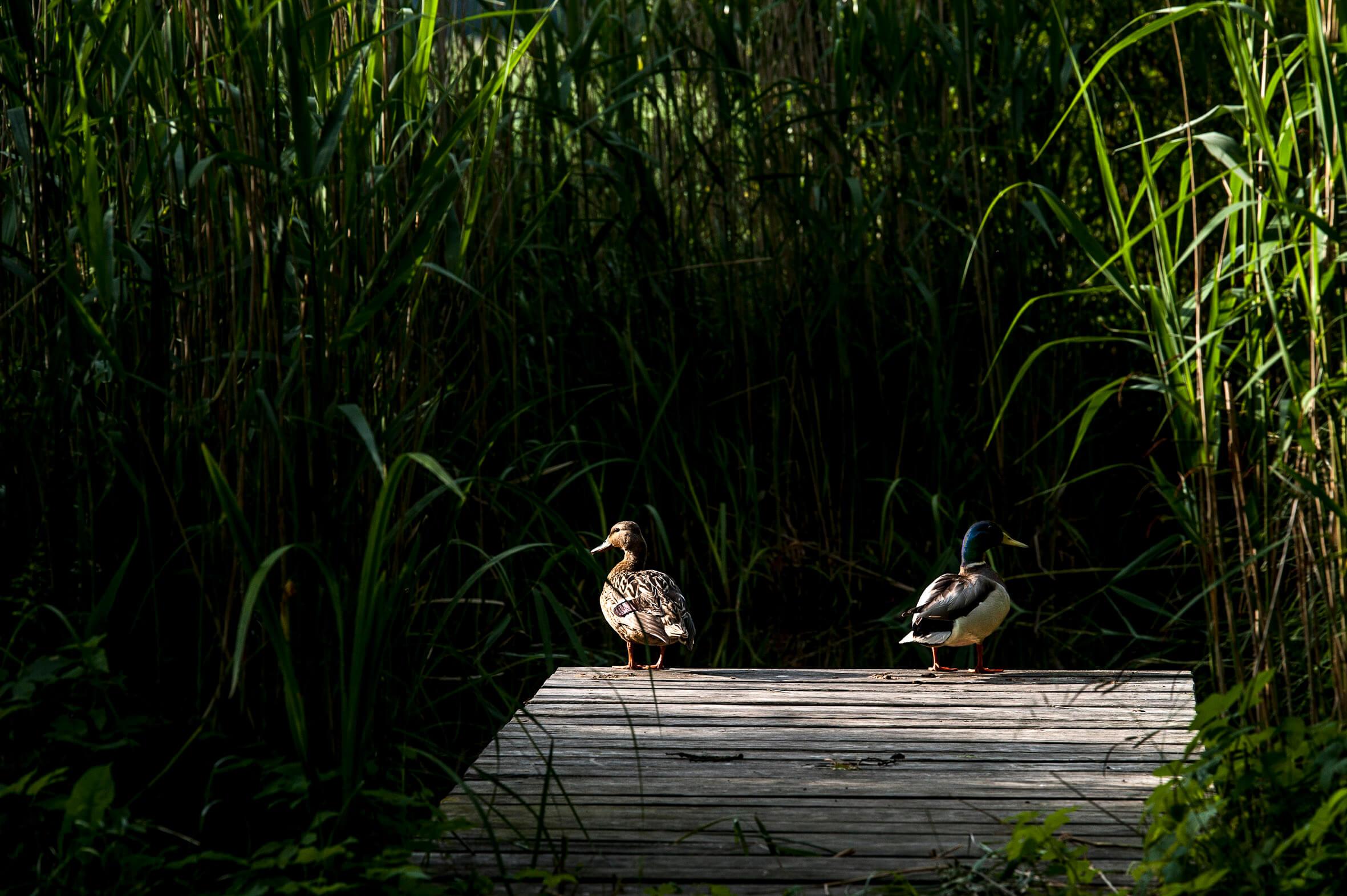 Entenbesuch am Teich. | Ferienwohnungen Müritz - Alte Ziegelei